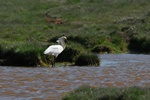 Eurasian Spoonbill (Platalea leucorodia)